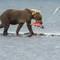 katmai bears b-6321s