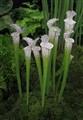 Carniverous Plant Sarracenia Leocophylla