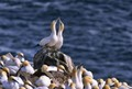 gannet colony of cape st mary nfld