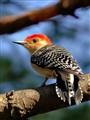 Male Red-bellied Wookpecker