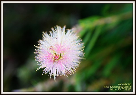 Pink Flower in Canberra