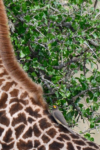Giraffepecker