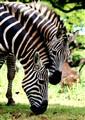 Zebra Blend