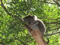 Koala Snoozing   22-8-2010