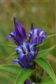 Common Gentian