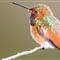 Allen's Hummingbird-28