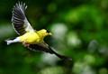 Soaring Goldfinch