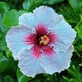 Pale to blushing pink
