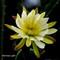 cereus cactus flower
