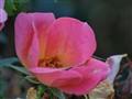 rose1005