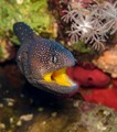 Yellow mothed moray eel