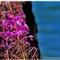 wildflowers lake tahoe