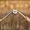 Barn Owl: (Tyto alba) Flying in a field, looking for food.