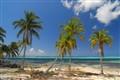 Cayman Palm
