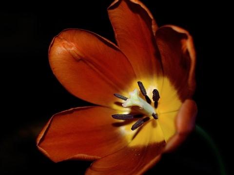 Orange-Tulip-Web