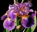 Iris in back yard