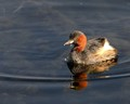 "Male Dabchick - ""slurp"""