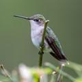 Female Ruby Throated Humming Bird