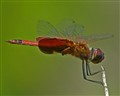 Red dragon fly St Andrews SP,Florida