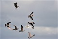 Gulls fighting in the air for food
