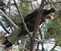 Yellow-tailed black cockatoo1