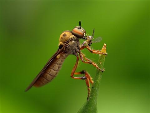 Robberfly (Holcocephala) 15 wk1 P7283452