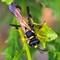 Yellow-legged Mud Dauber Wasp