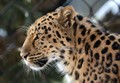 Amur Leopard Showing Off Its Beauty and Its Whiskers