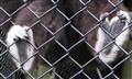 Gibbon Paws
