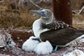 Blue Footed Boobie and her Babies