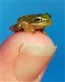 Baby Tree Frog