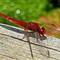 2012-1205 dragonfly Butrint Albania