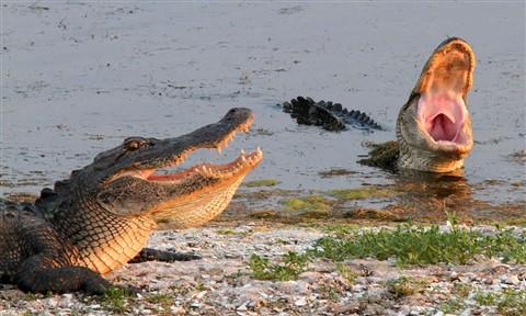 Gators Joking