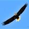 8 X 10 Eagle @ Petenwell WMark