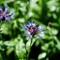 Cornflower and bee II: