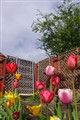 Tulip in my garden.