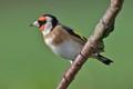 Goldfinch (uk)