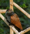 Coucal - Framed