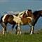 mustang cody wyoming horses wild