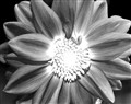 Dahlia infrared