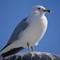 05_seagull5