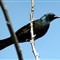 ASITheCommonGrackle