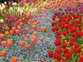 Tulips..are best to capture