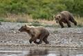 katmai bear gets moving