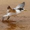 Crested Tern 08