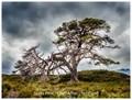 Scots Pine Glen Affric Scotland