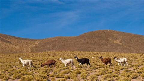 Llamas on Parade