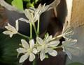 Seven Star Flower