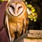 Young Barn Owl