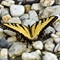 Eastern Tiger Swallowtails- Papilio glaucus